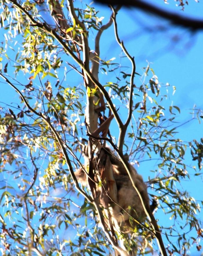 Honeyeater harassing a koala