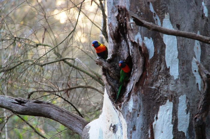 A pair of Rainbow Lorikeets