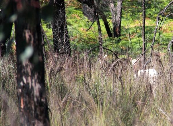 Flighty Fallow Deer