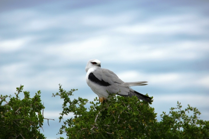 Black-shouldered Kite at eye-level