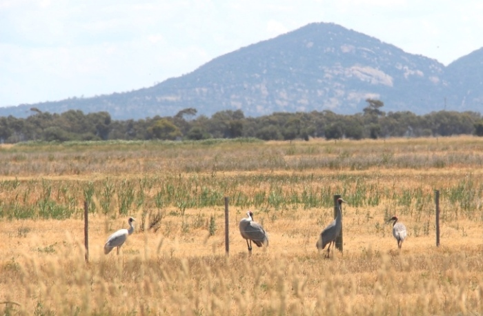 Family of Brolgas in a paddock on 29 Mile Road