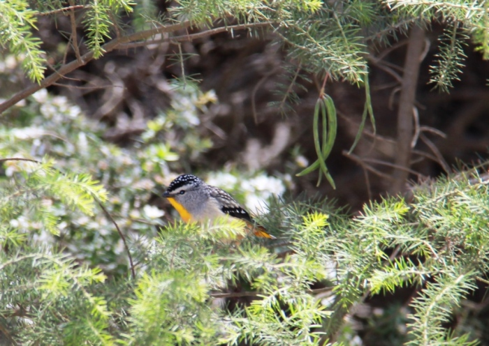 Spotted Pardalote spotted