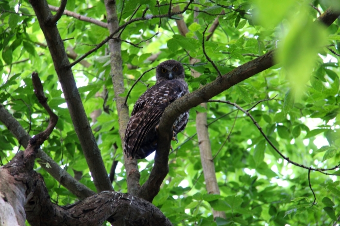 Powerful Owl - Wilsons Reserve 10-01-14