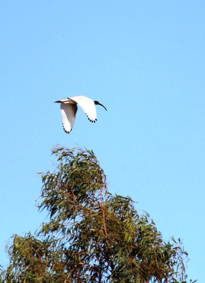 Austalian White Ibis