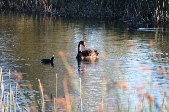 Black Swan and Eurasian Coot