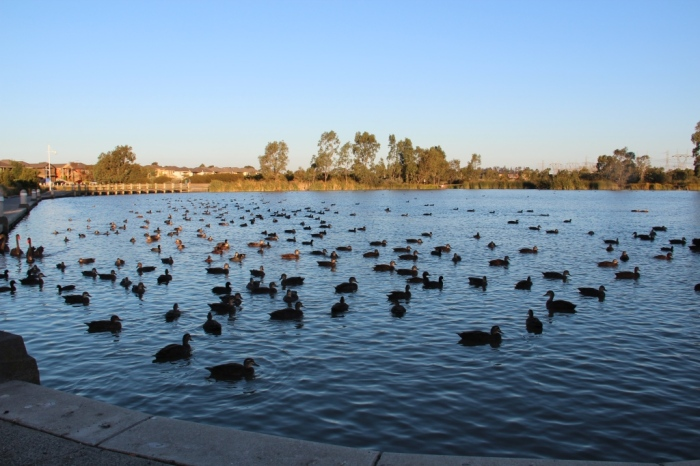 Waterfowl on the main lake
