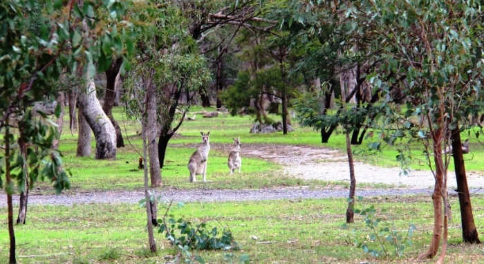 Kangaroos in the cemetery (with permission from the Aboriginal elders)