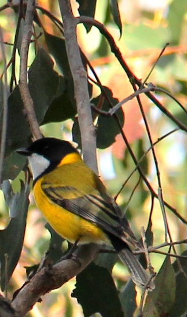 Amazingly, this is what the immature in the pic above will look like! (Male adult Golden Whistler at Rifle Range Reserve, Smiths Gully)
