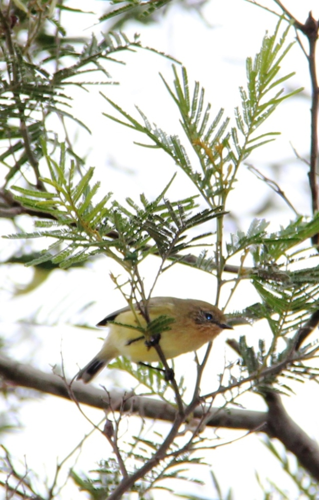 Yellow Thornbill