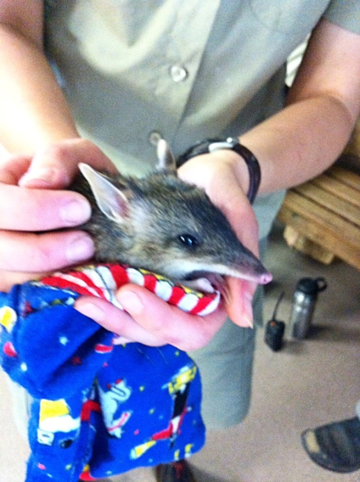 Eastern Barred Bandicoot at Werribee Open Range Zoo