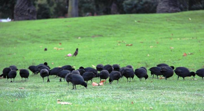 Coots foraging