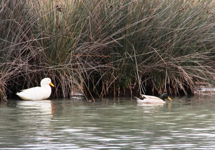 Domestic duck and Northern Mallard