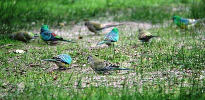 Red-rumped Parrots - the males are more colourful than the females; they are usually found in pairs and small flocks