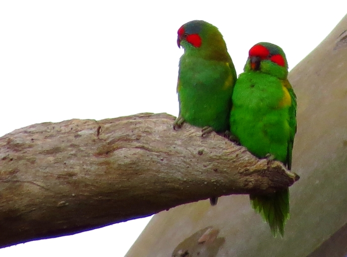 A pair of Musk Lorikeets