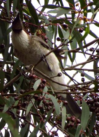The underside of a Noisy Friarbird
