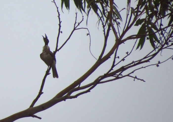 'Noisy' Friarbird living up to its name