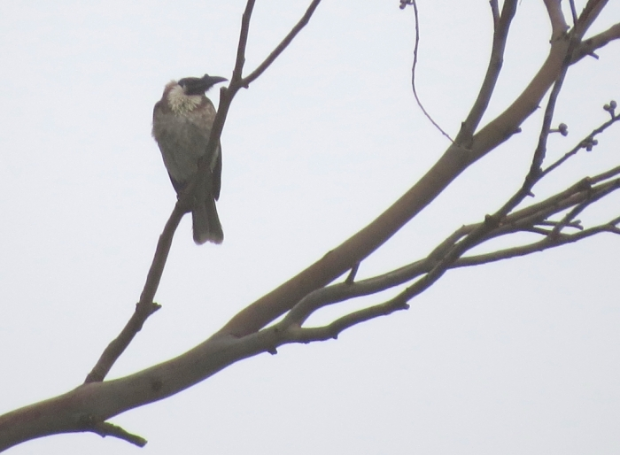 Noisy Friarbird with unmistakable bump (casque) at the end of its bill