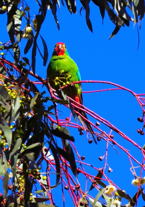 Underexposed Swift Parrot