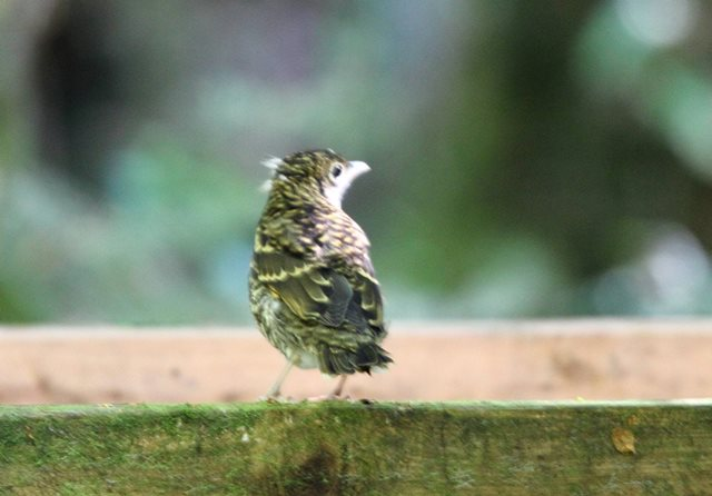 Bassian Thrush - seen and photographed by just Imka