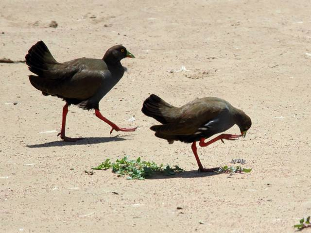 Black-tailed Native Hens