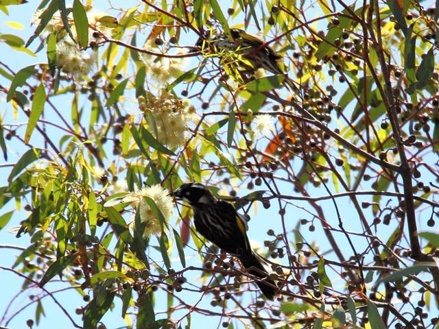 New-holland Honeyeaters