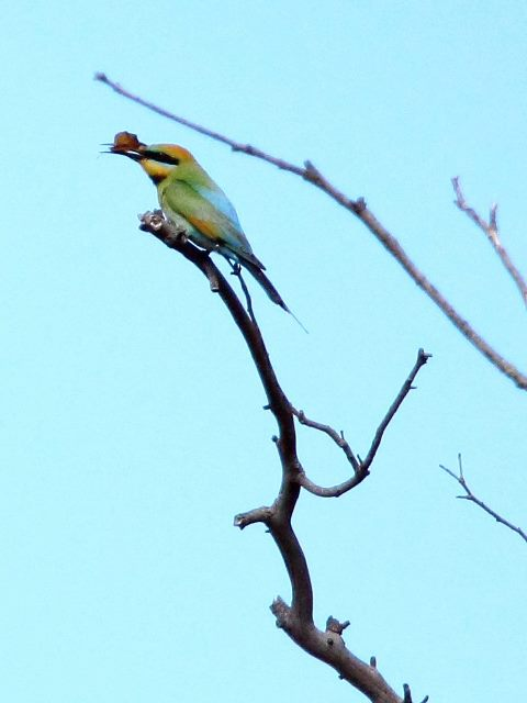 Rainbow Bee-eater with lunch (?)