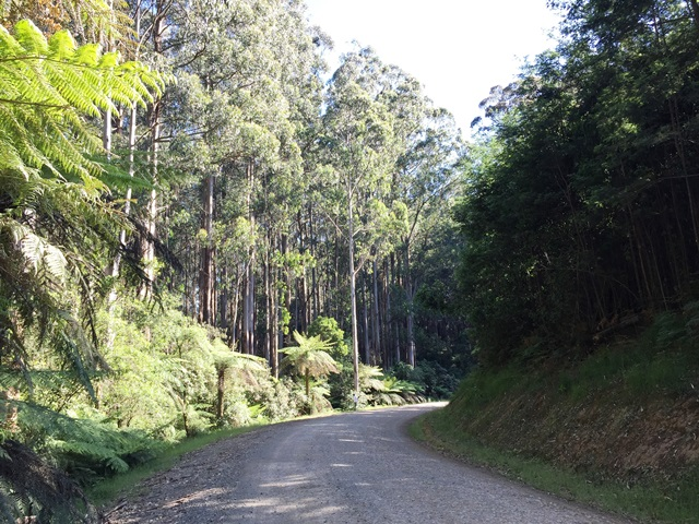Sylvia Creek Road a few seconds after a Super Lyrebird flew across the road