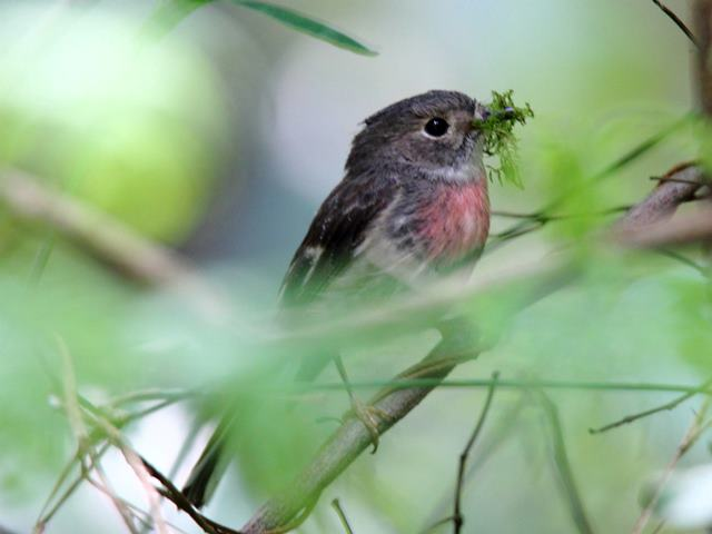Rose Robin (female)