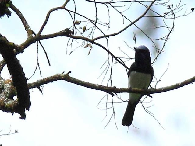 Satin Flycatcher (male)