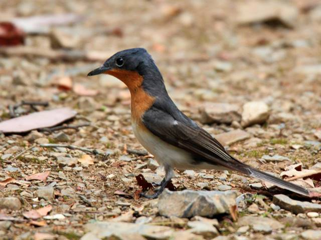 Satin Flycatcher (female)