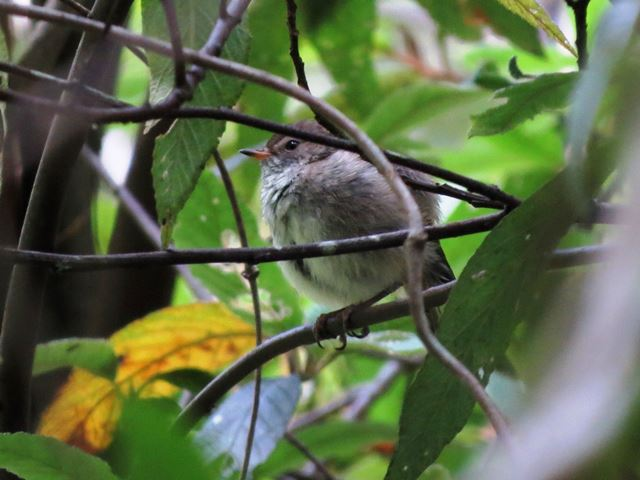 Unknown bird - possibly a juvenile Rose Robin