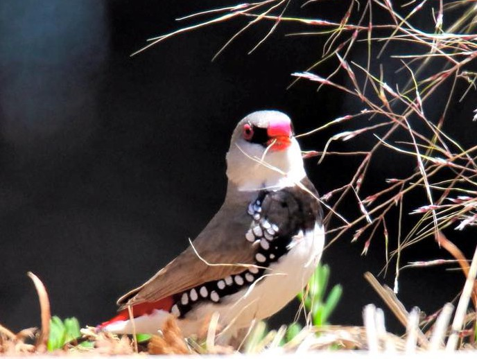 Diamond Firetail at Eynesbury Golf Course