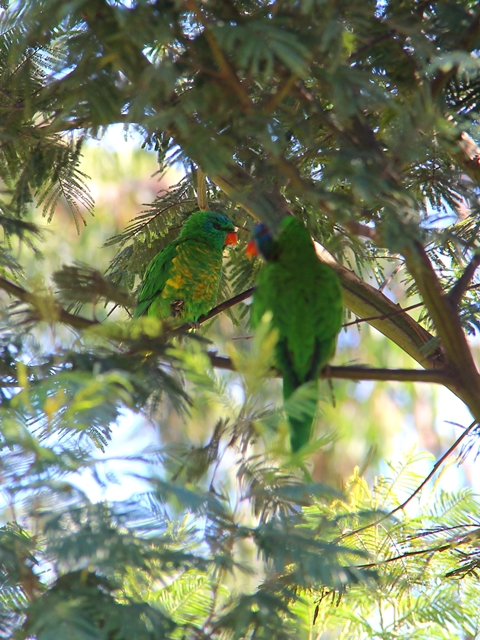 Scaly-breasted Lorikeet and Rainbow Lorikeet