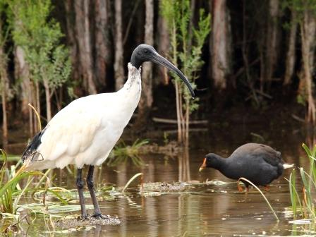 Australian White Ibis and Dusky Moorhen