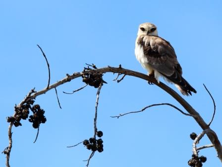 Juvenile Black-shouldered Kite