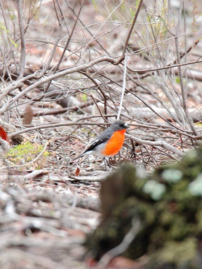 Flame Robin (male)