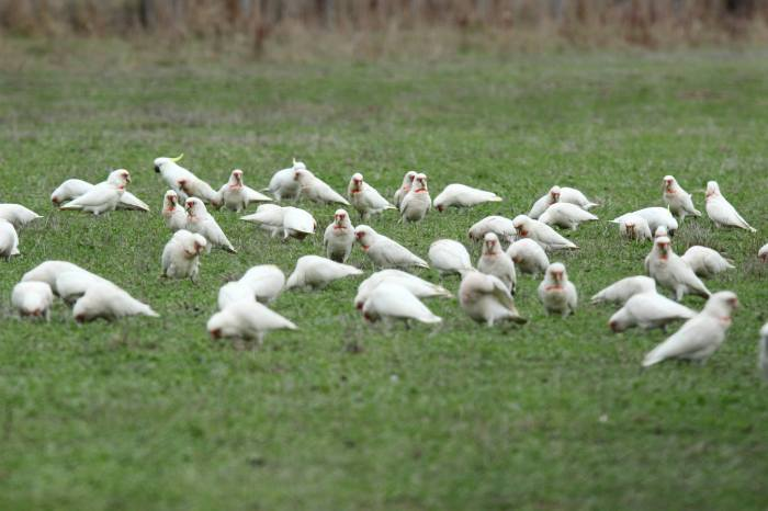 Corellas and Cockatoos