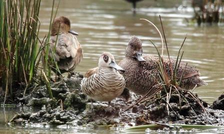 Pink-eared Duck and Freckled Duck