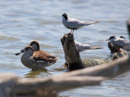 Pink-eared Ducks, Whiskered Terns