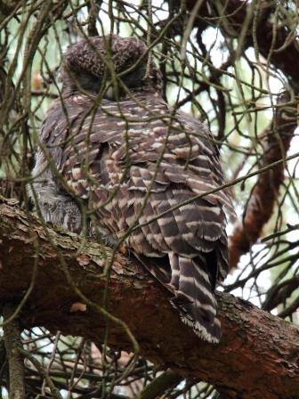Powerful Owl - mom