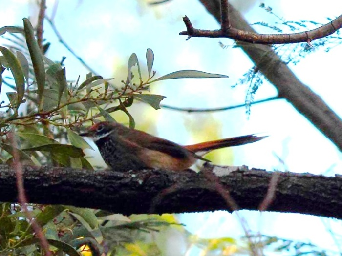 Rufous Fantail - taken in very poor lighting
