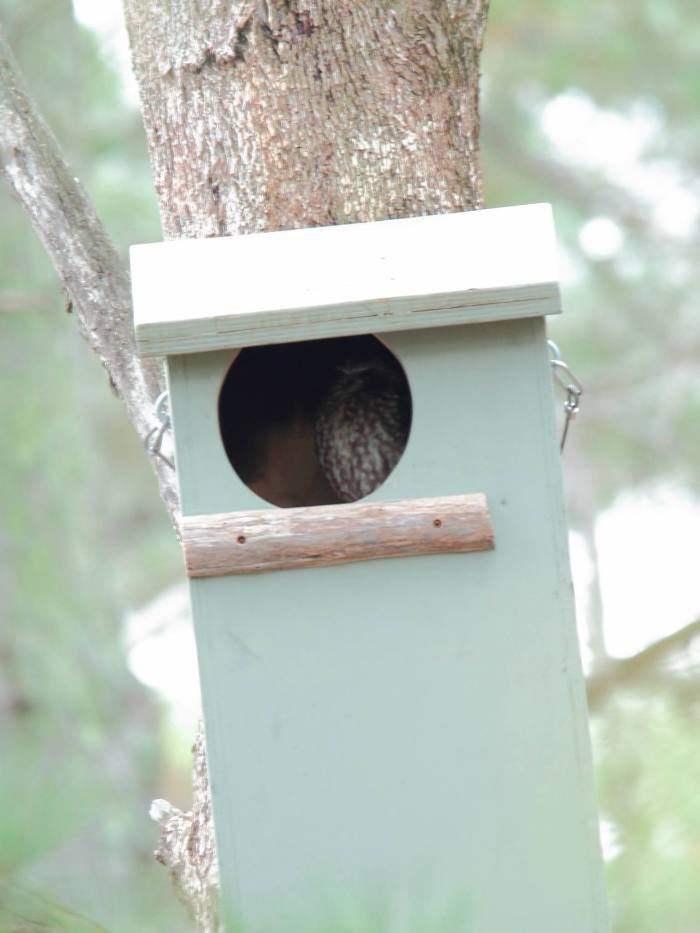 Southern Boobook in a Powerful Owl's nesting box