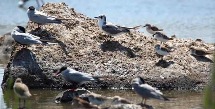 White-winged Black Tern (centre), Red-necked Stints (right), Whiskered Terns