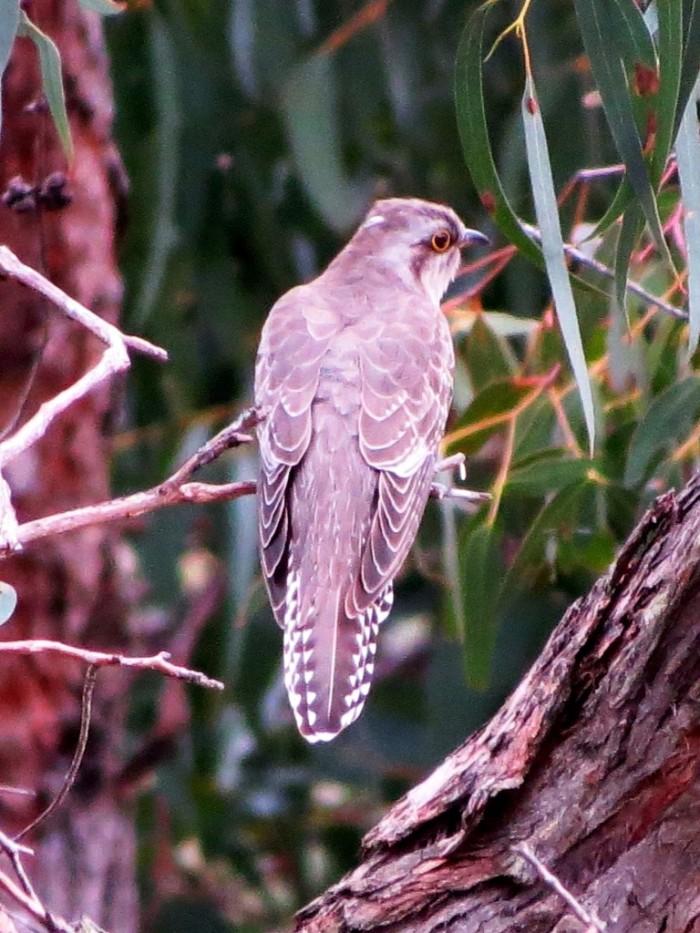Pallid Cuckoo