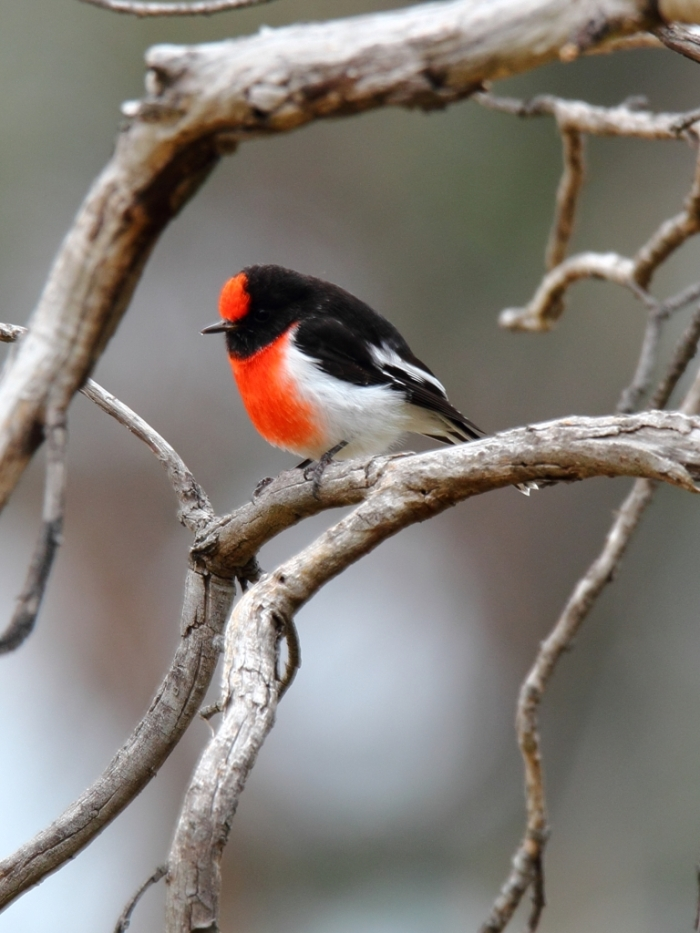 Red-capped Robin male)