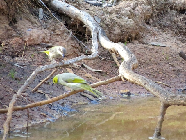 Brown-headed and White-plumed Honeyeaters