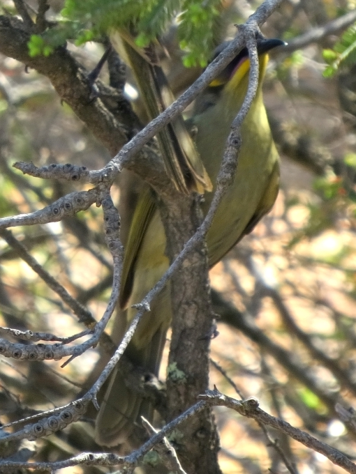 Purple-gaped Honeyeater - you can see how it got its name
