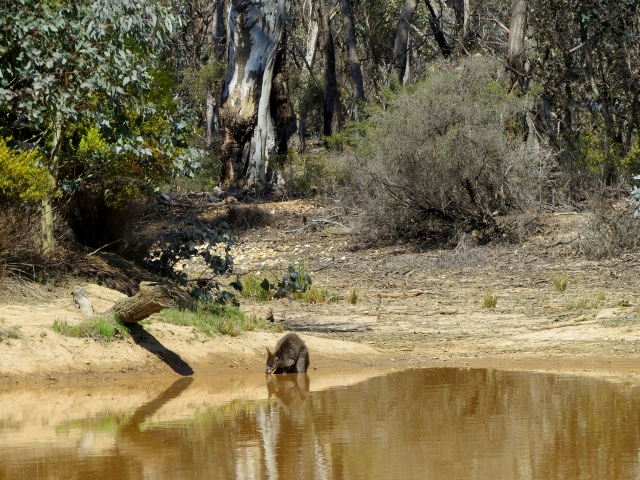 Swamp Wallaby cooling off in the 32C heat