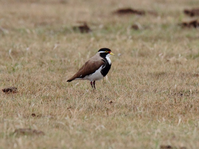 Fig. 24. Banded Lapwing