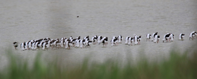 Fig. 25. Banded Stilts